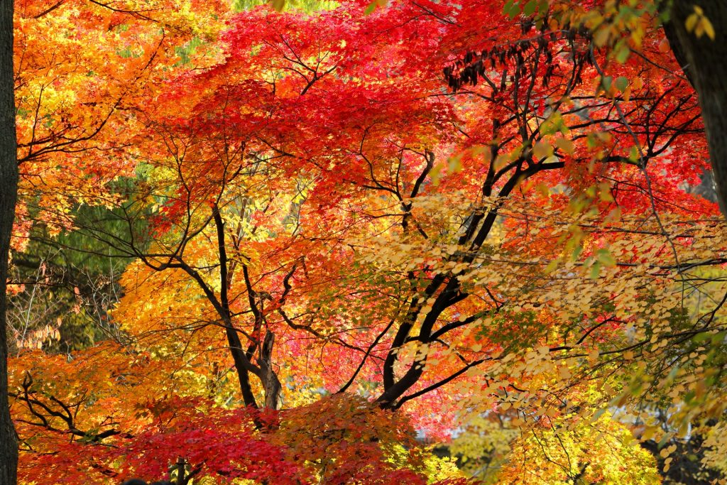 autumn-leaves-koyo