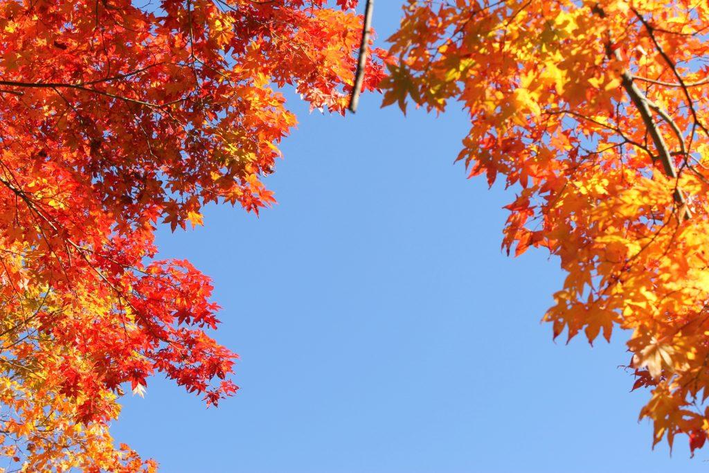 autumn-leaves-koyo