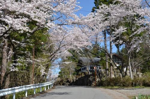Cherry blossoms kanbayashi