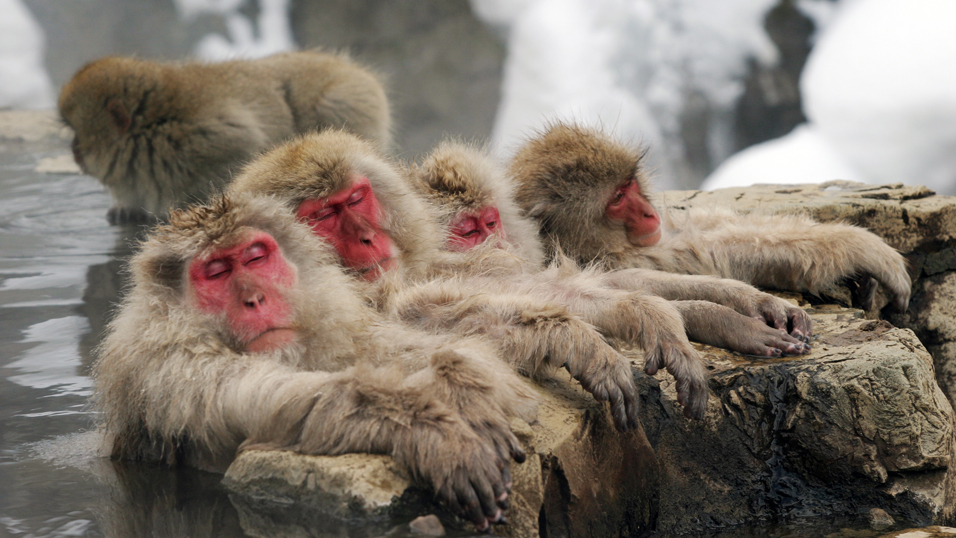 Snow monkeys bathing