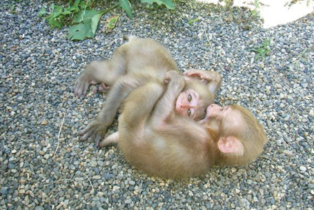 Baby snow monkeys