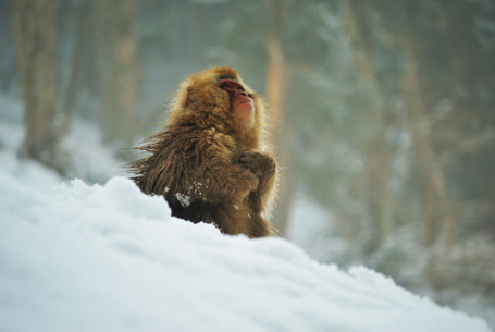 Snow monkey in winter