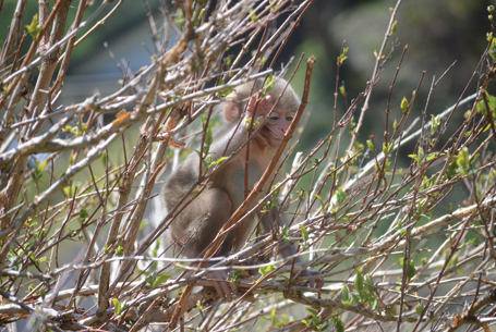 Small snow monkey in tree