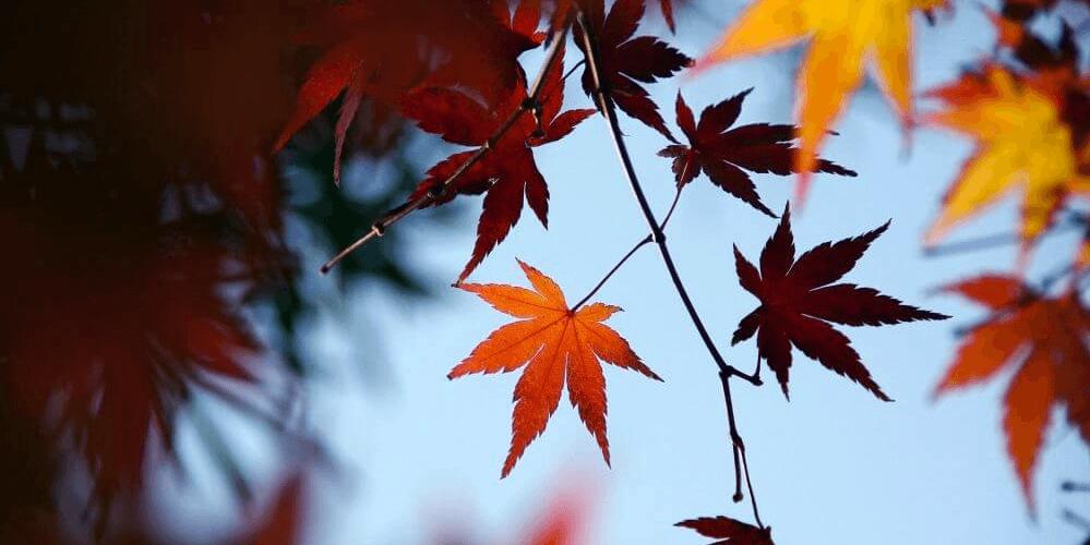 koyo-autumn-leaves-banner-edit