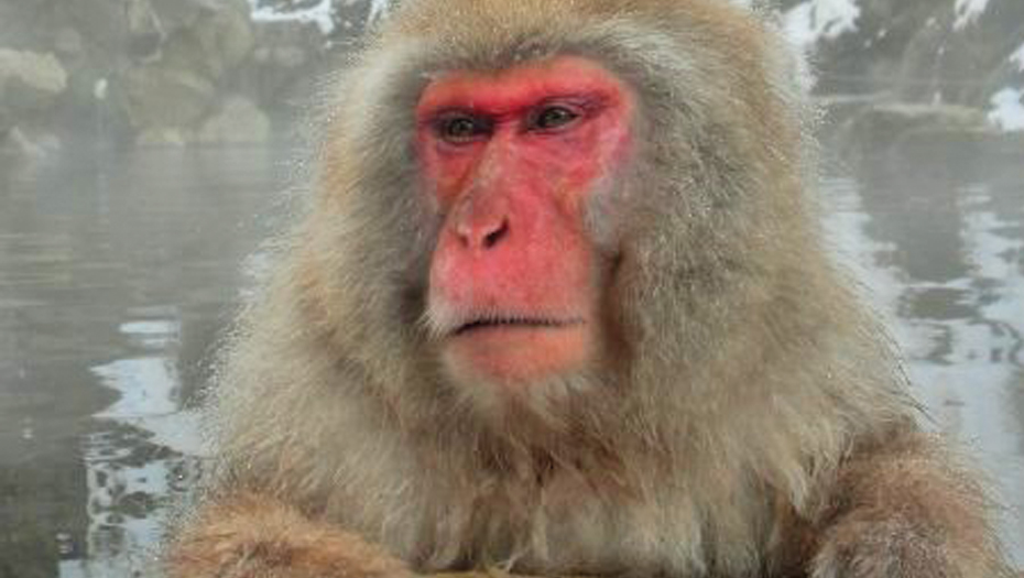 Snow monkey boss