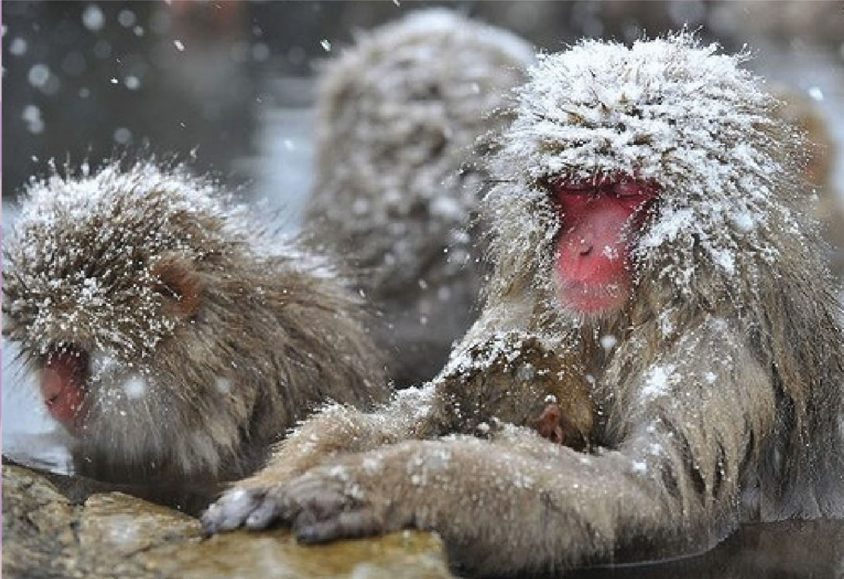 Snow monkey sitting relaxed in the onsen
