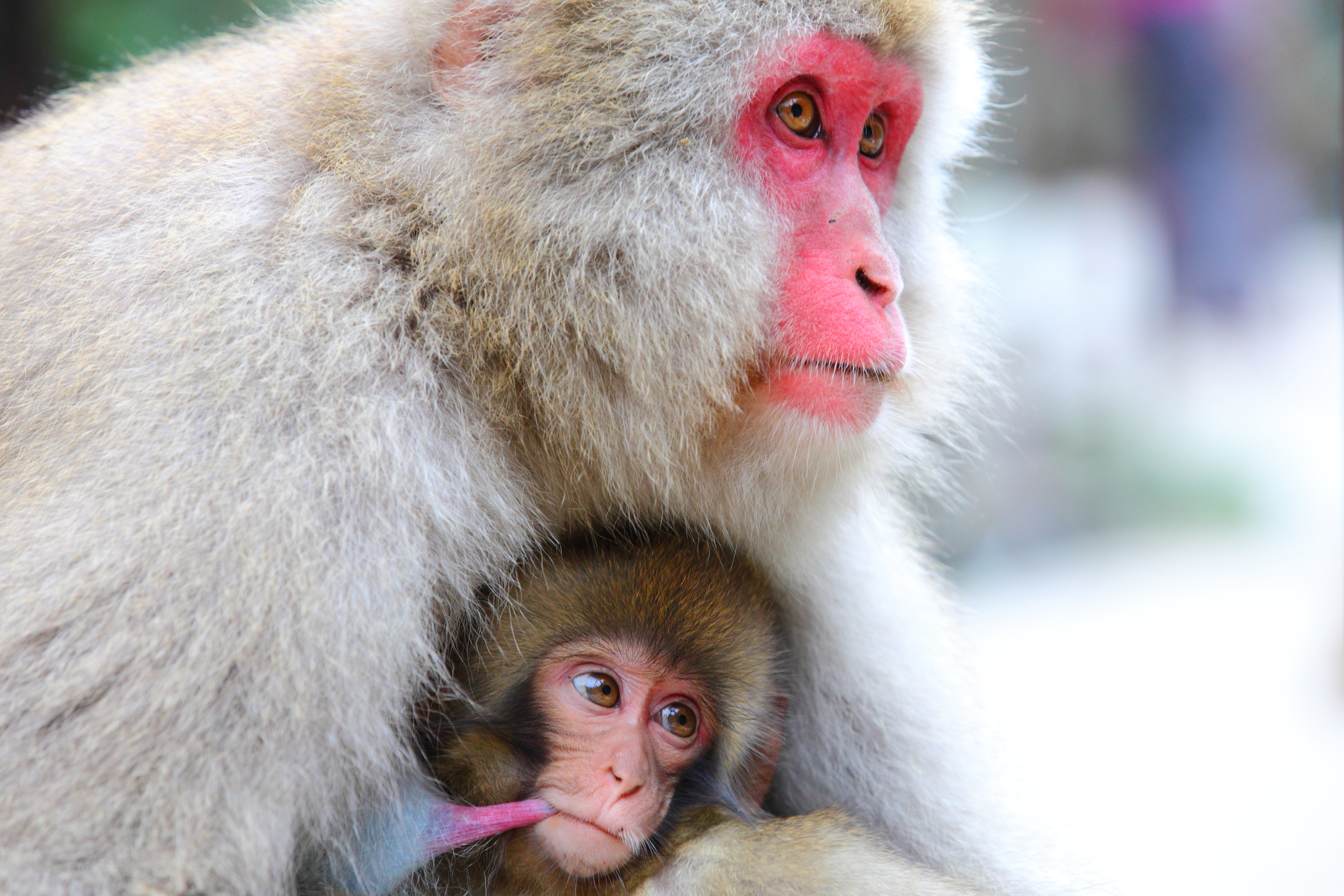The Snow Monkeys FAQ