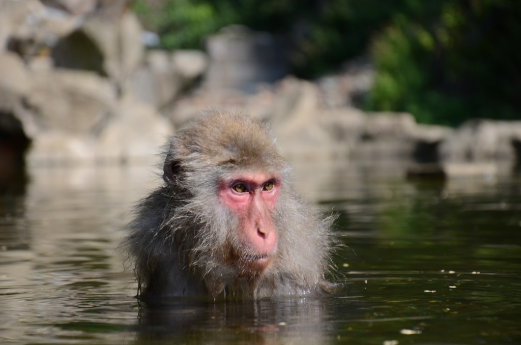 Snow monkey bathing