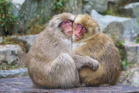 Snow Monkeys: Monkey Love, Babies & Childcare