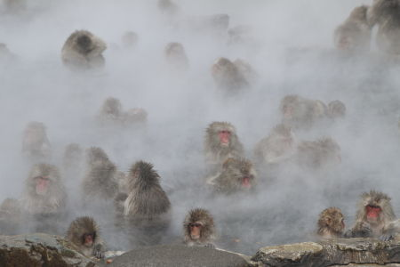 Many snow monkeys bathing