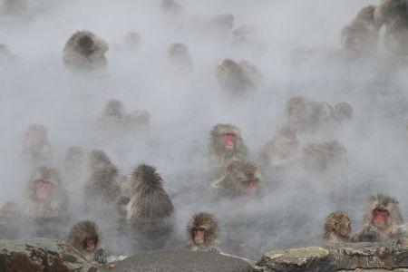 Many snow monkeys bathing