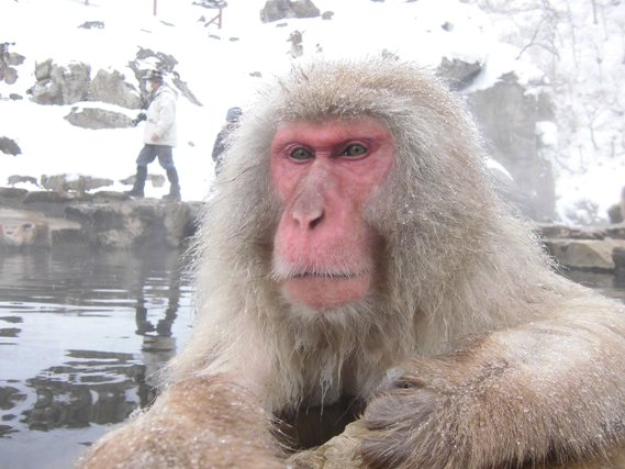 Snow monkey boss in bath