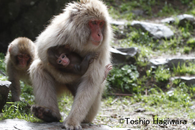 Snow monkey mother and baby