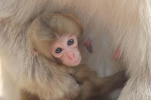 Snow monkey baby