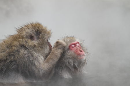 Two snow monkeys bathing