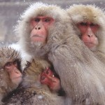 Snow Monkey Hierarchy: the Top Monkeys