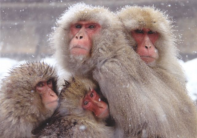 Snow monkeys cuddling