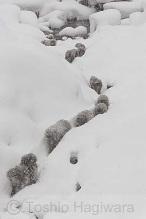 Snow monkeys walking through snow