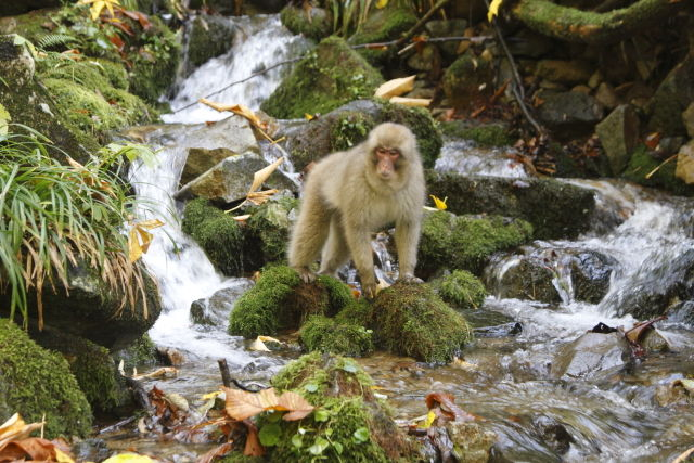 Snow monkey in the river