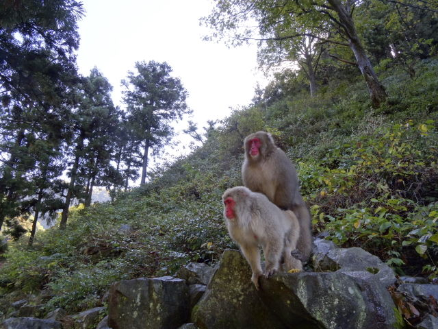 Snow monkeys mounting
