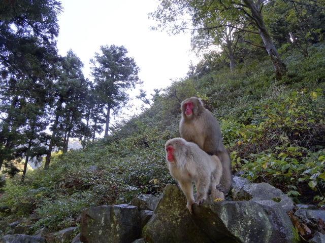 Snow monkeys mounting