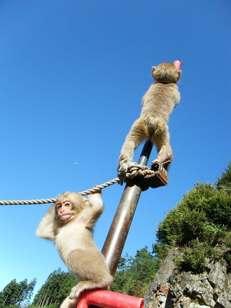 Baby snow monkeys playing