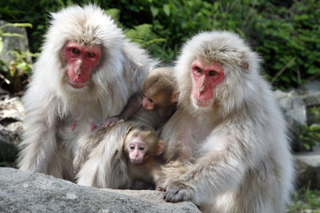 Snow monkey mothers and children