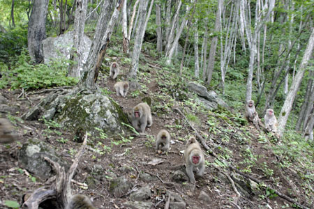 Snow monkeys walking in the forest