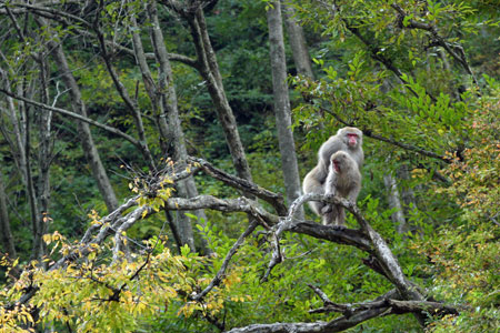 Snow monkeys mounting in a tree