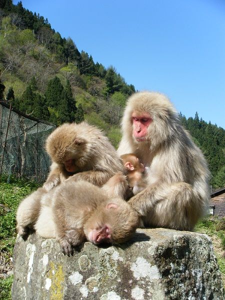 Snow monkeys in summer