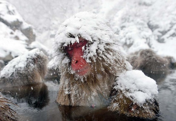 Snow monkey bathing with a lot of snow