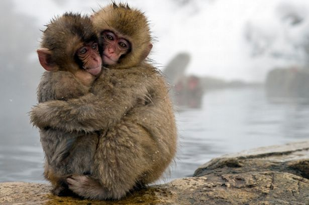 Snow monkey children cuddling