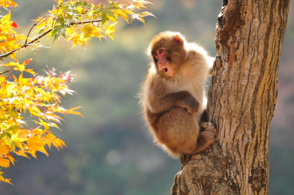 Snow monkey in a tree