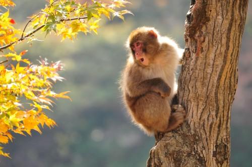 (EN) Jigokudani Monkey Park