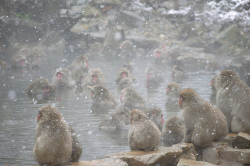 bathing-snow monkeys