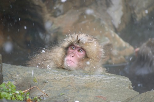 snow monkey baby first snow