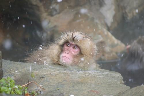 snow monkey baby first snow