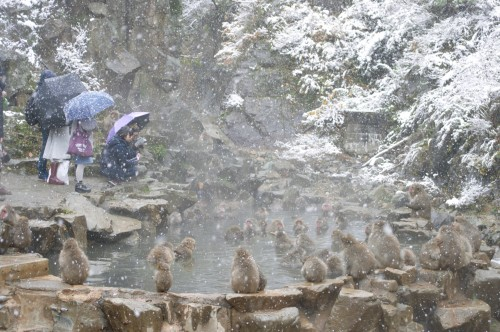 snow monkey crowd