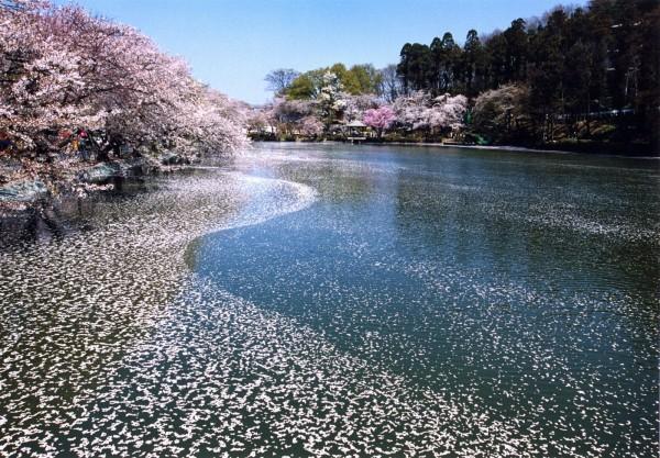 garyu park sakura