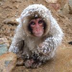 When Does it Start to Snow in the Jigokudani Monkey Park?