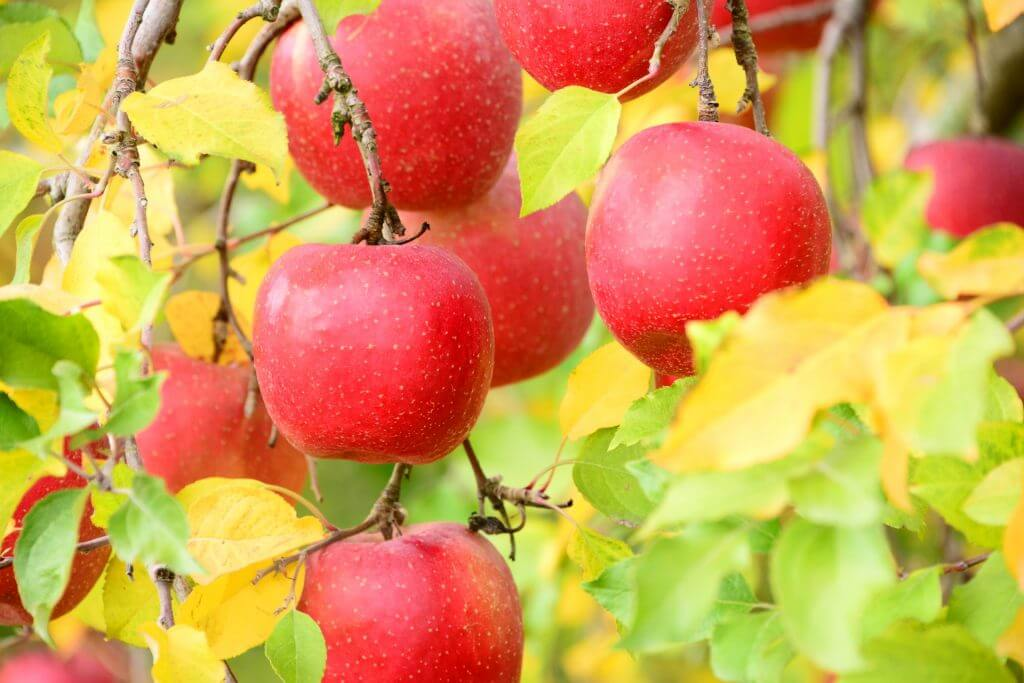 Nagano Apples: Some of the Best in Japan