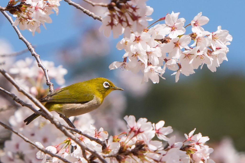 cherry-blossom-sakura-wildlife