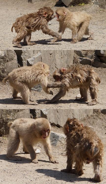 Baby Monkey fight