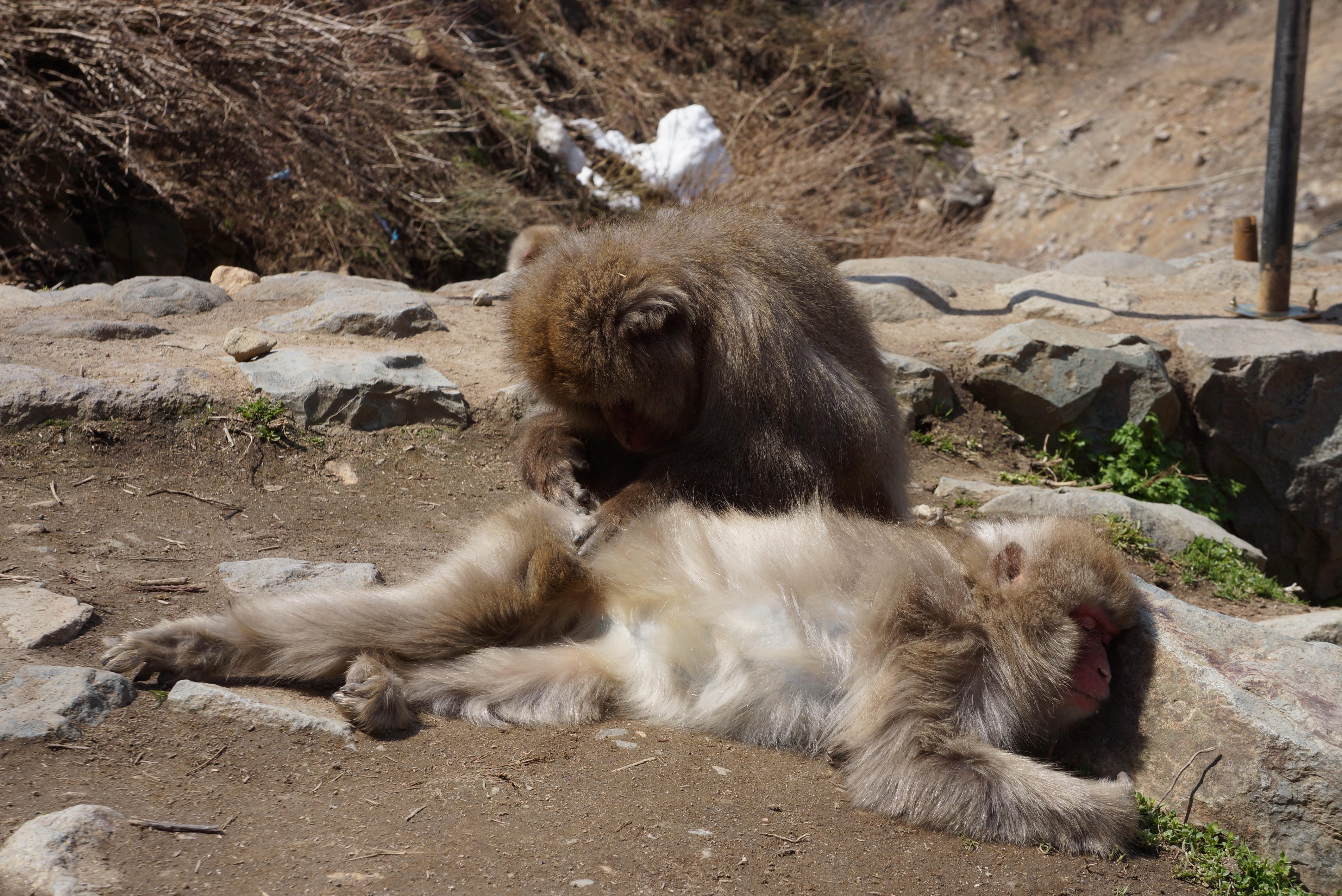 Fleecing monkey