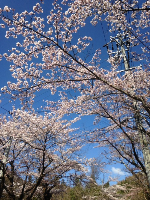 kanbayashi blossom