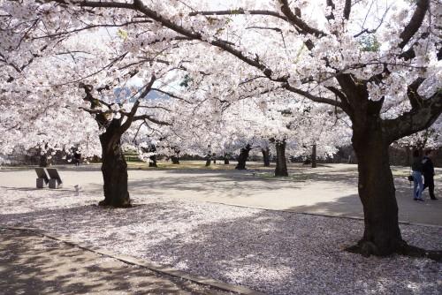matsushiro sakura cherry blossom