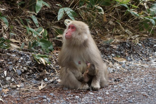 Snow Monkeys mom and baby 2
