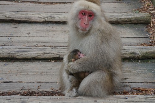 Snow Monkeys mom and baby