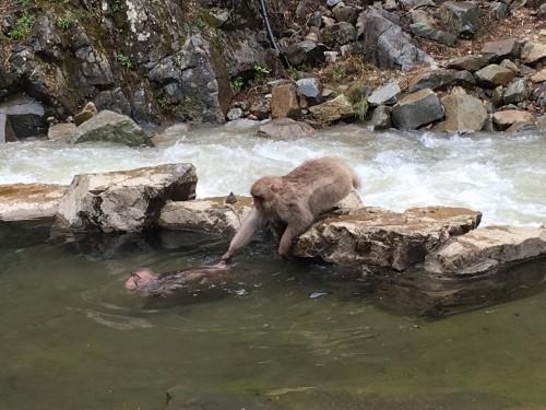 swimming monkeys 2