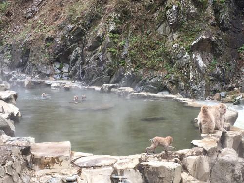swimming monkeys 3